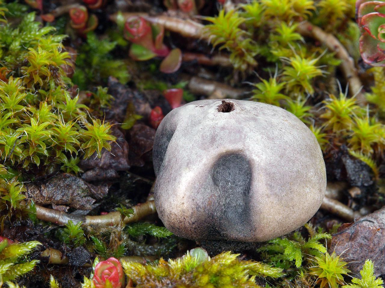 Břichatkovité houby